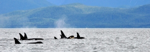 A juvenile orca practices breaching as the pod swims on.