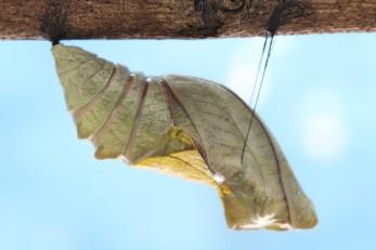 beautiful Monarch chrysalis on tree , butterfly