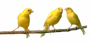 Canaries-000001785888_Medium